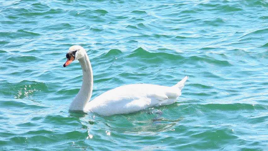Birds:Beautiful white swan in the Ontario lake blue waters, beauty of creatures in nature. 4k stock footage - 4K stock video clip