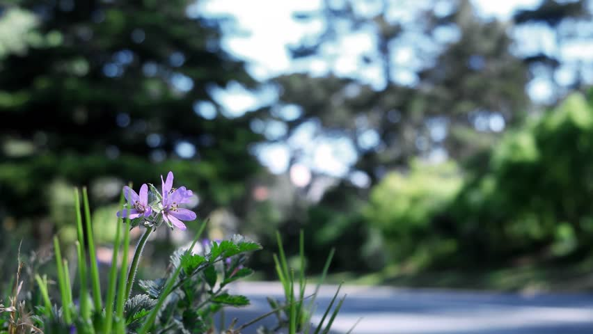 Low angle shot of a small purple flower at the side of a park road. A long haired woman rides by on a bicycle, out of focus and unrecognizable. Dappled sun from tall trees by the road. Bright sky.