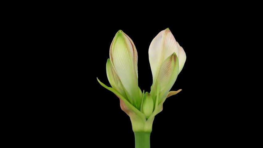 "Time-lapse opening ""Apple Blossom"" amaryllis Christmas flower alpha matte"
