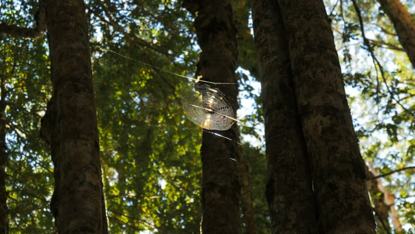 a spider's web high in a tasmanian beech forest is lit by a shaft of sunlight