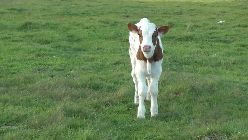 Header of calf