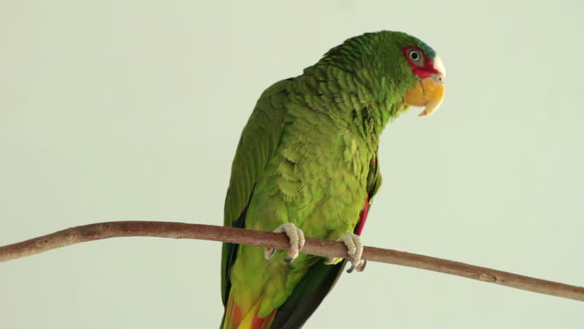 Sleepy Parrot On Branch  | Shutterstock HD Video #972862