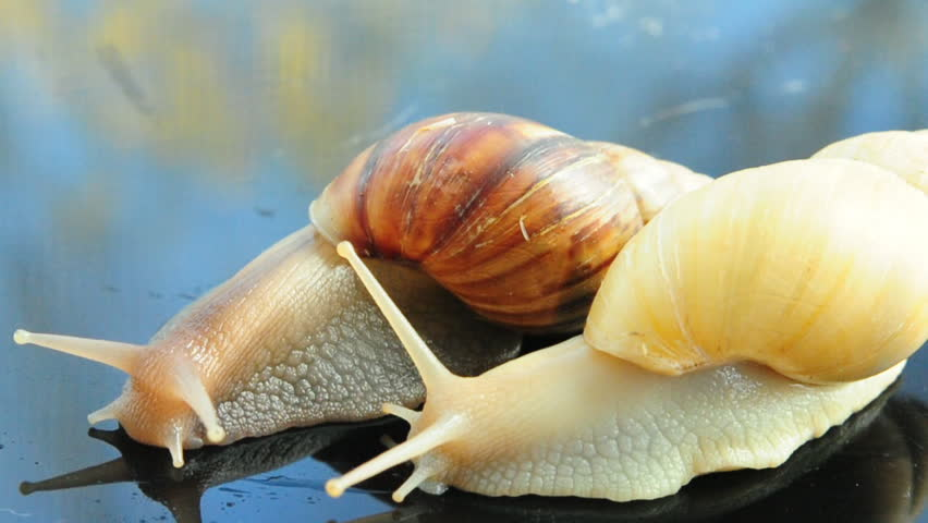 Two Achatina snails - HD stock video clip