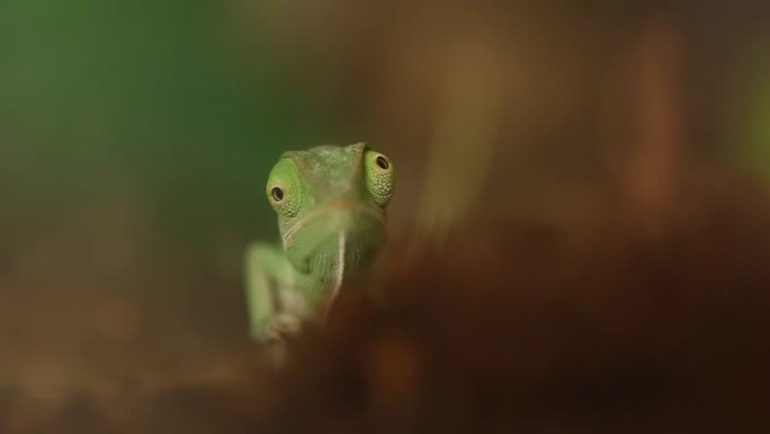 baby green chameleon - HD stock footage clip