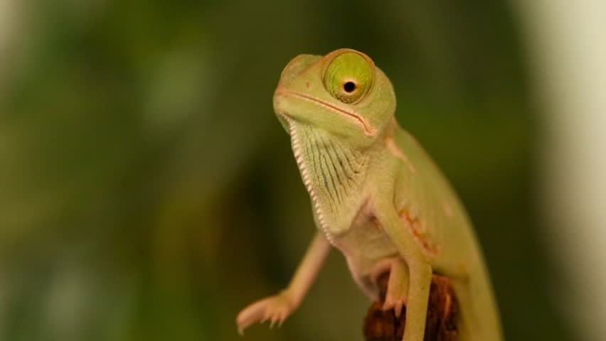 Closeup of a baby green chameleon - HD stock video clip