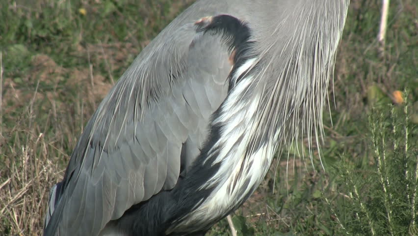 Great Blue Heron Wing - HD stock video clip