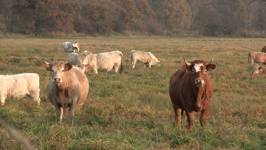 Cows on a pasture | Shutterstock HD Video #981907