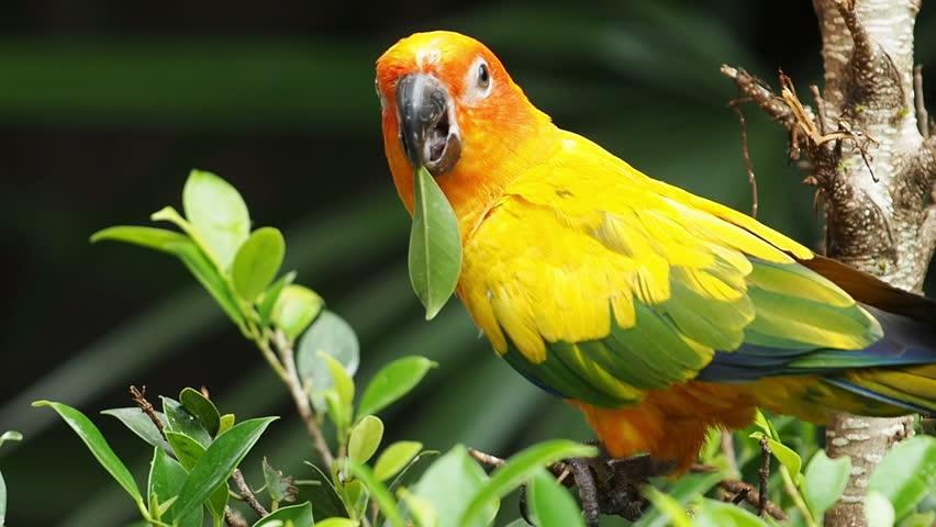 Sun Conures in The Wild Sun Conure Parrot Bird