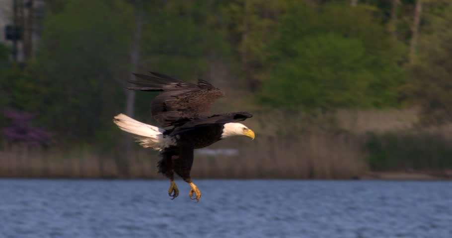 Beautiful shot of Bald eagle swooping down and catching a fish in his talons from the blue water in 240 fps slow motion.