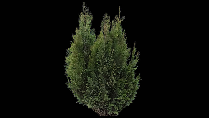 High quality 10bit footage of coniferous plant on the medium wind with Alpha Channel in ProRes. Made from RAW footage.